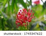 Red Grevillea Flowers  Bud Is...