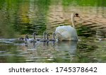 Mother Swan And Her Chicks On A ...