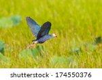 Purple Swamphen  Porphyrio...