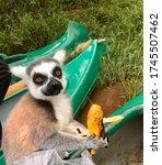 Feline Lemur A Charming Animal...