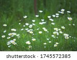 White Daisies On A Summer Meadow