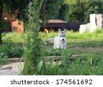 little cute puppy of siberian... | Shutterstock . vector #174561692