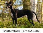 Young Black Lurcher Dog Outside ...