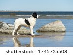 Giant Dog On The Beach. Water...
