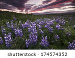 Iceland  Lupine Field
