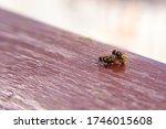 Mating Flies. Close Up Of ...
