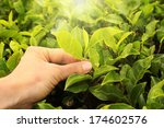 Tea Picking Hand