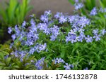 Lilac Periwinkles Bloom On A...