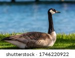 This Beautiful Canada Goose Was ...
