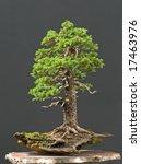 spruce bonsai | Shutterstock . vector #17463976