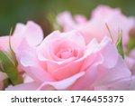Macro Details Of Pink Rose...