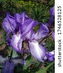 """Summer Bearded Iris """"victoria..."""