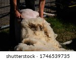 Small photo of Sheep shearing a ewe with a clipper on a texelaar x swifter