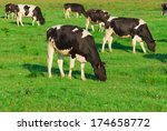 Cows Grazing On A Meadow