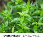Small photo of King of bitters Andrographis paniculata Burm, Wall. Ex Nees, Fah Talai jhon, Thai herbs relieve sore throat, reduce fever, heat up the cold green leaves vegetable nature protect corona