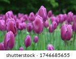 Many Purple Tulips In Park....