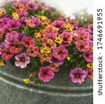 Yellow And Pink Mini Petunias...