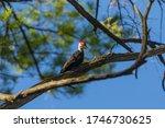 Bird. The Pileated Woodpecker ...