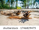 Pine Cones Lie On The Ground In ...