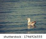 Single Isolated Seagull Bird...