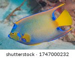Queen Angelfish  Blue Angelfis...