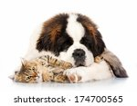 Stock photo saint bernard puppy sleeping with tabby cat isolated on white background 174700565