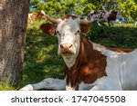 Red And White Cow  Breed Of...