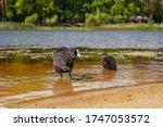 Waterfowl. Family of waterfowl Fulica atra.