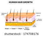 hair follicle cycling. anagen... | Shutterstock .eps vector #174708176