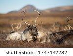 Reindeer  Rangifer Tarandus ....