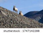 Siberian Bighorn Sheep  Ovis...