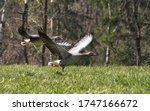 Geese Flight Meadow Air Couple