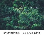 Leaves Of Araucaria...