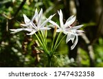 White Swamp Lily In The...