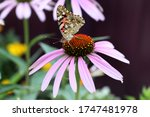 Macro Of Painted Lady Butterfl...