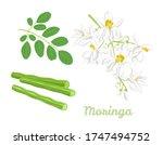 Moringa Oleifera Set. Seed Pod...