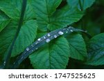 A Green Stalk Of Grass With...