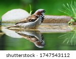 The House Sparrow Bathes In Th...