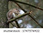 Gray Squirrel Eats A Peanut...