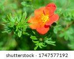 Potentilla  fruticosa red ace a ...