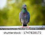 Indian pigeon or rock dove  ...