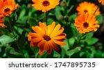 Pot Marigold A Species Of Dais...