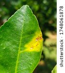 Small photo of This picture shows Citrus canker in leaf. Citrus canker is a disease affecting Citrus species caused by Xanthomonas axonopodis. The infection causes lesions on the leaves .