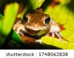 Small Borneo Tree Frog Closeup...