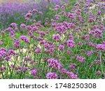 Purple Verbena Is Blooming...