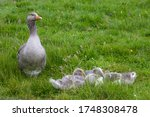 A Greylag Goose Sits With Its...