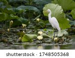 A Egret Is Resting On A Lotus...