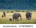Three Adult Female Elephants...