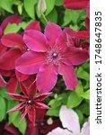 Deep Carmine Red Large Flowered ...