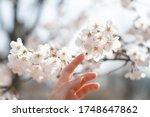 Woman Hand Touching A Cherry...